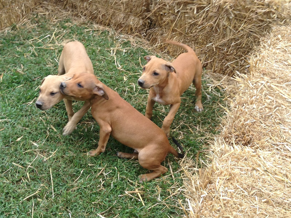 Caesar x Vengeance Pups - Tom Garner Kennels